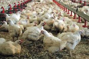 Υψηλά επίπεδα διοξίνης σε γερμανικά κοτόπουλα